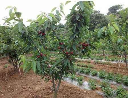 沙米托樱桃树